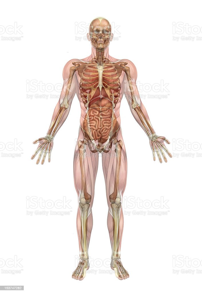 Skeleton and Internal Organs with Muscle Overlay stock photo