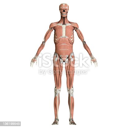135895161istockphoto Skeleton and muscles 136199545
