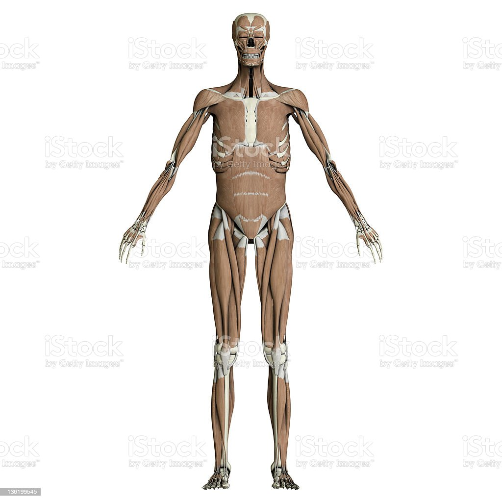 Skeleton and muscles stock photo