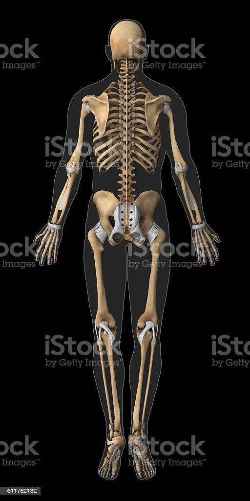 Skeleton And Tendon Anatomy Posterior View Stock Photo & More ...