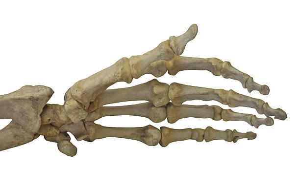 skelett hand, isoliert auf weiss - skelett hand stock-fotos und bilder