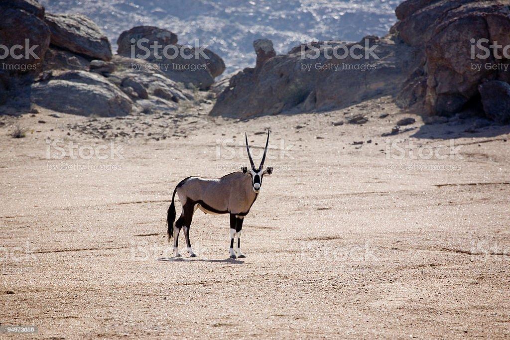 Skeleton Coast Oryx (Gemsbok) royalty-free stock photo