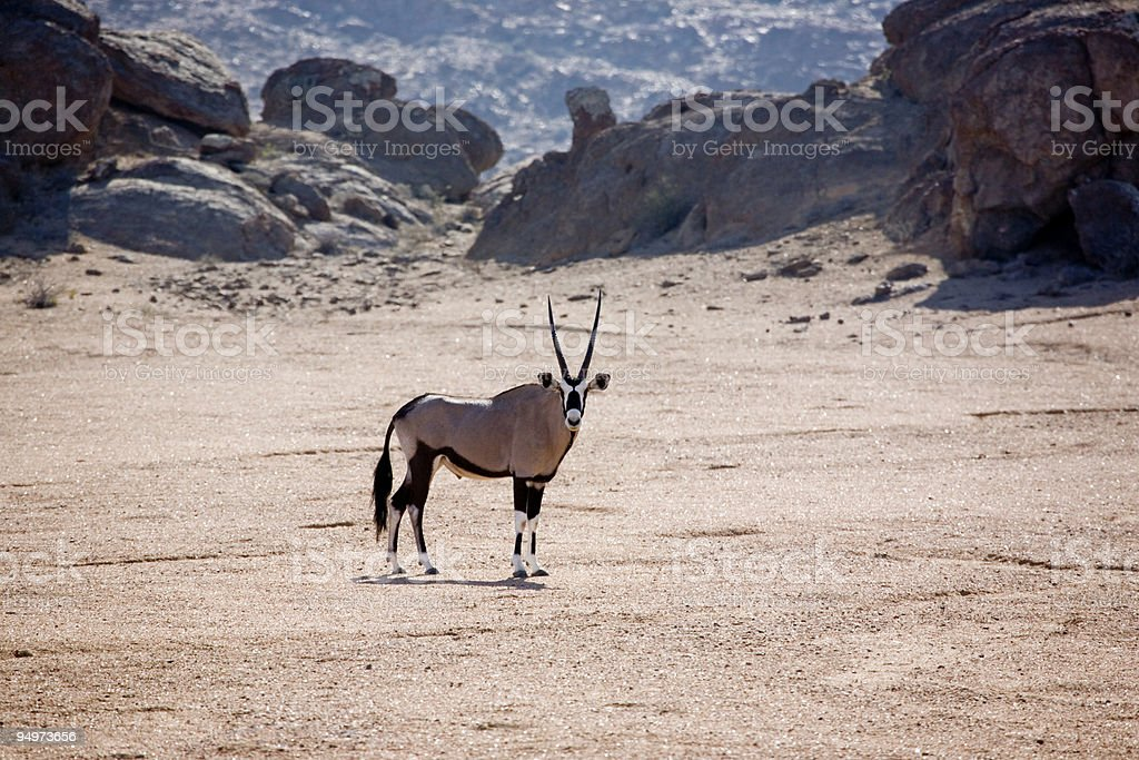 Skeleton Coast Oryx (Gemsbok) stock photo
