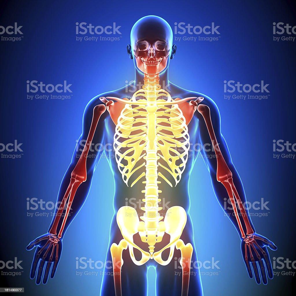 Skeleton detail - Anatomy Bones royalty-free stock photo
