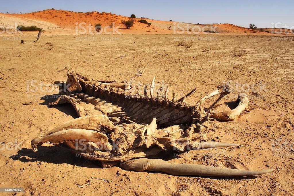 Skeleton Eland royalty-free stock photo
