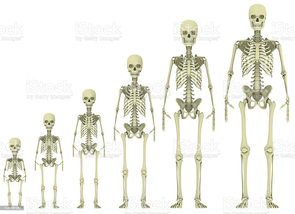 Skeleton evolution stock photo