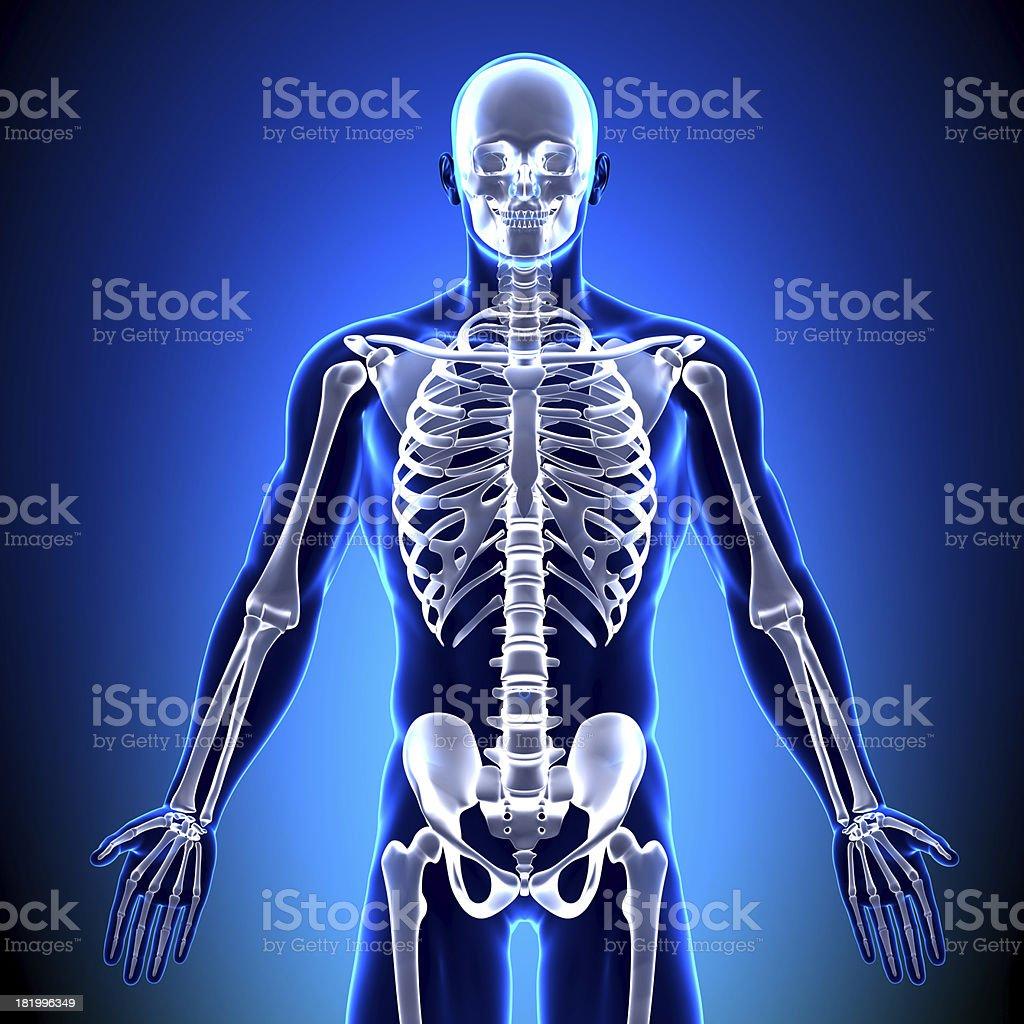 Anatomie Knochenskelett Vorne - Stockfoto   iStock