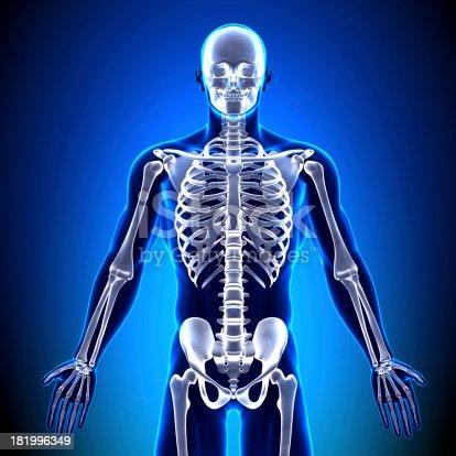 Anatomie Knochenskelett Vorne Stock-Fotografie und mehr Bilder von ...