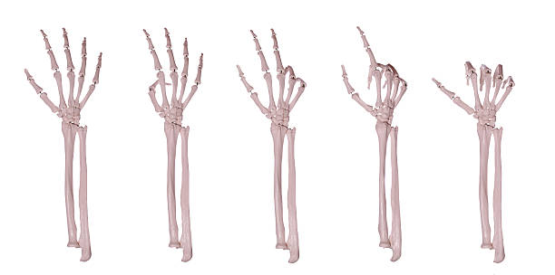 skeleton hands counting 1-5 - human skeleton stock photos and pictures