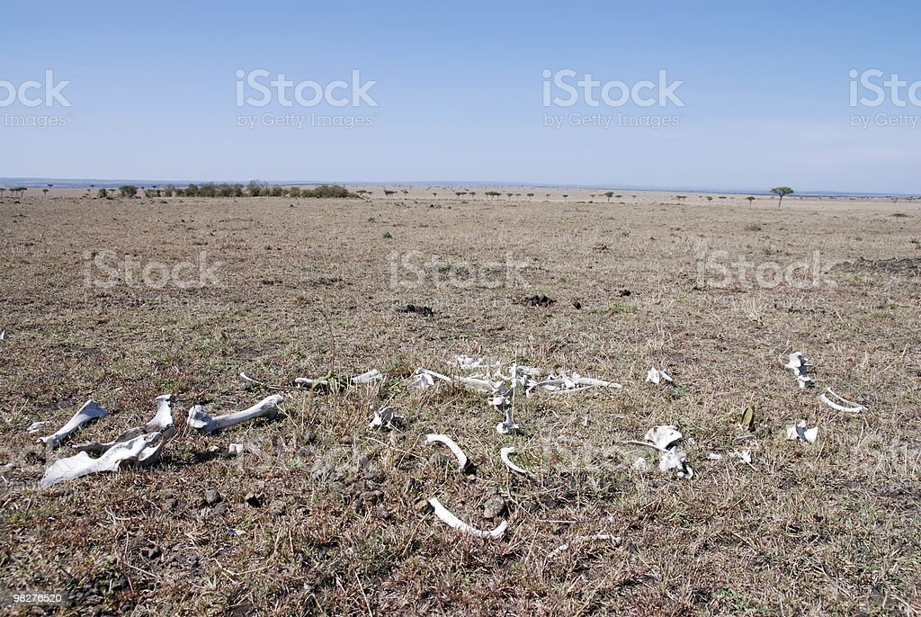 skeleton in the serengeti plain royalty-free stock photo