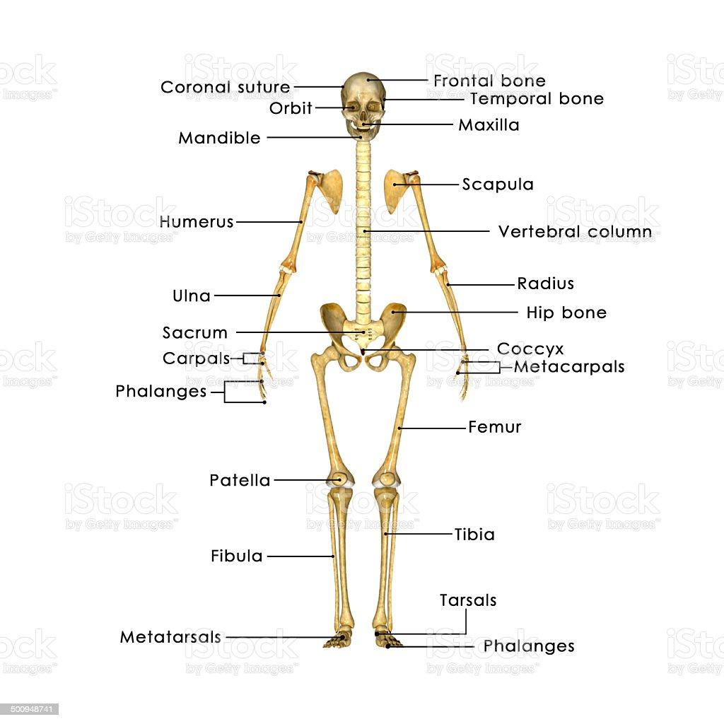 Esqueleto Declarada En La Etiqueta - Fotografía de stock y más ...
