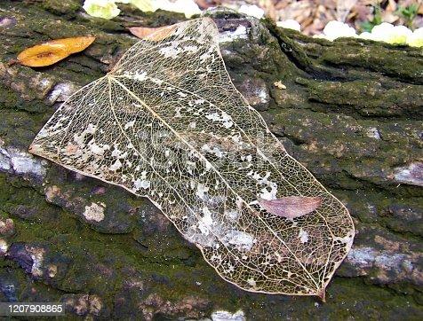 1155045999 istock photo Skeleton leaf 1207908865
