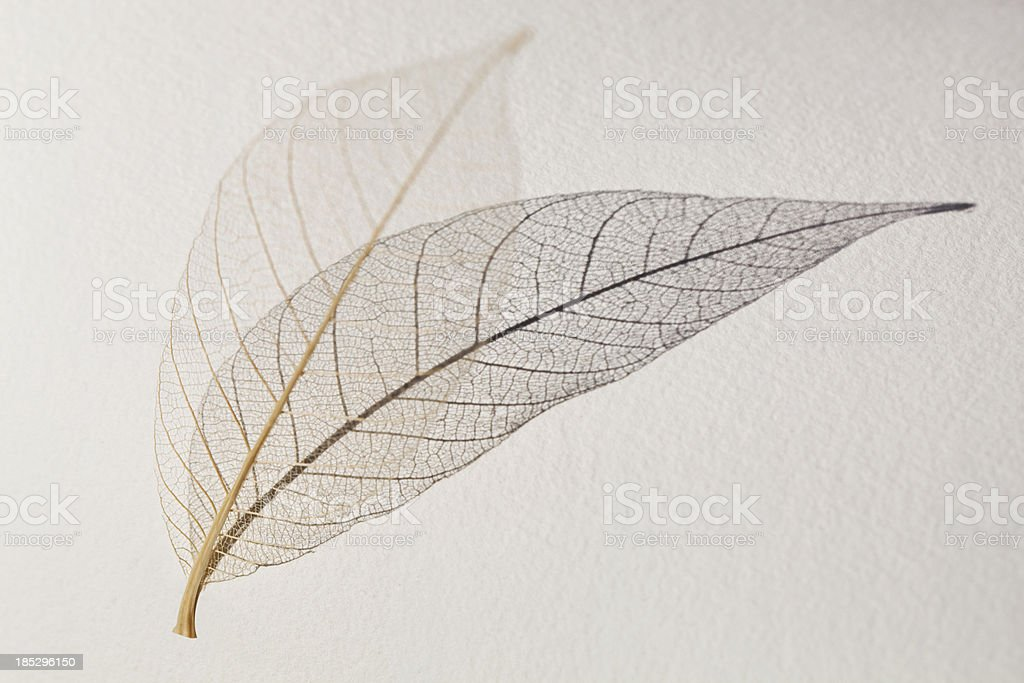 Skeleton leaf royalty-free stock photo