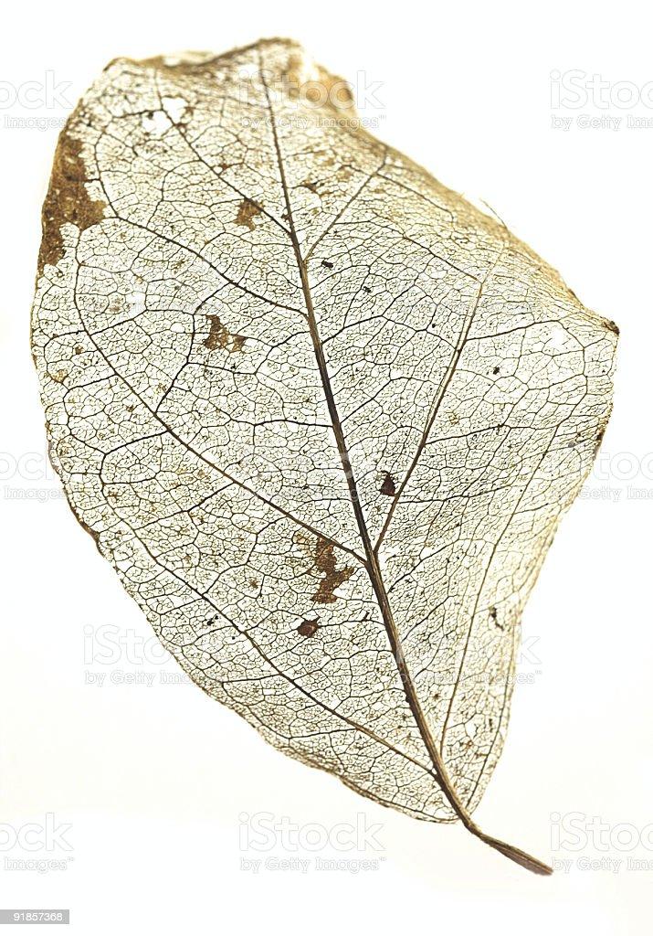 Skeleton leaf royalty-free stock photo