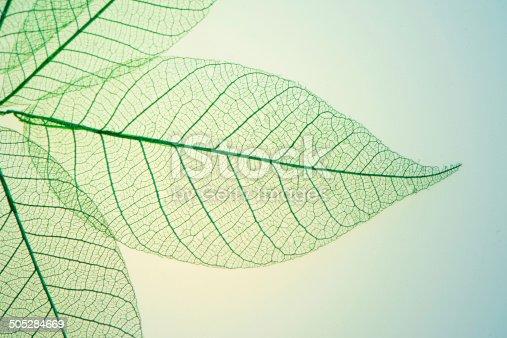 istock Skeleton Leaves Flower 505284669
