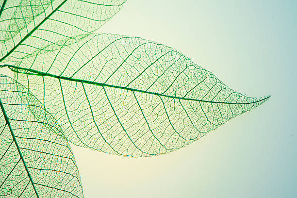 Skeleton Leaves Flower Skeleton Leaves Flower plant cell stock pictures, royalty-free photos & images