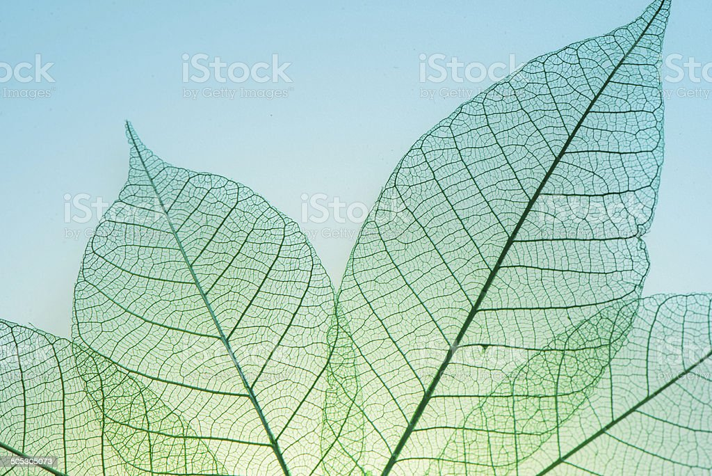 Skeleton Leaves Flower stock photo