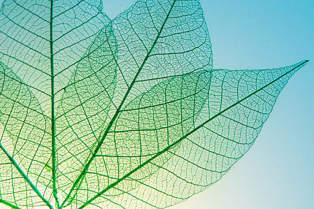 Squelette feuilles de fleurs - Photo