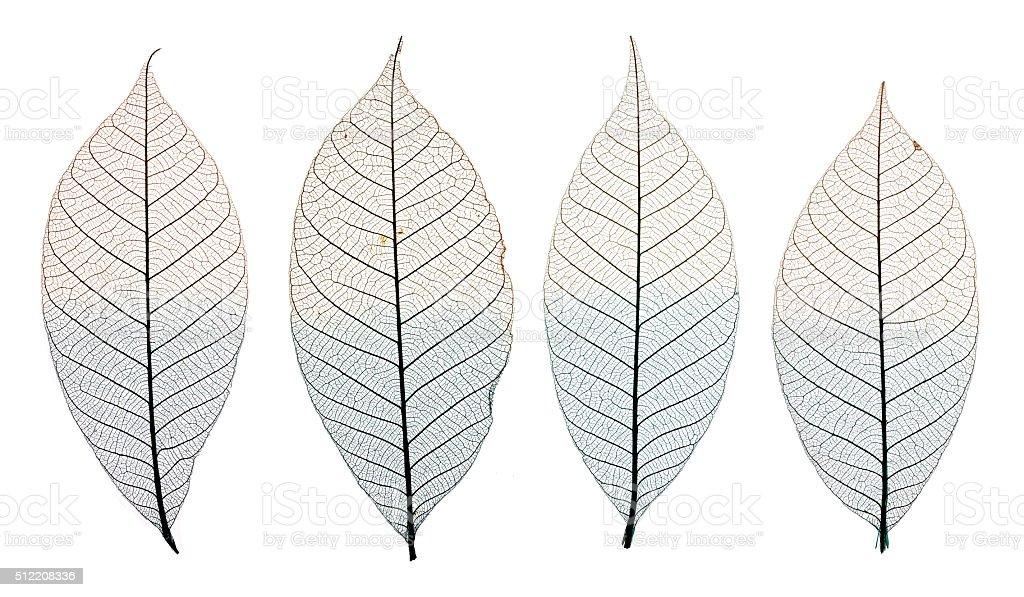 Skeleton leaves isolated on white stock photo