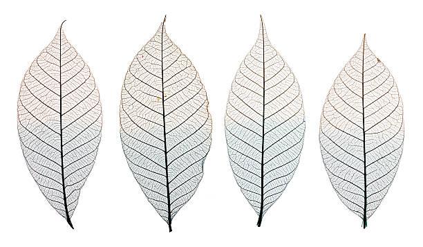 Skelett Blätter isoliert auf Weiß – Foto