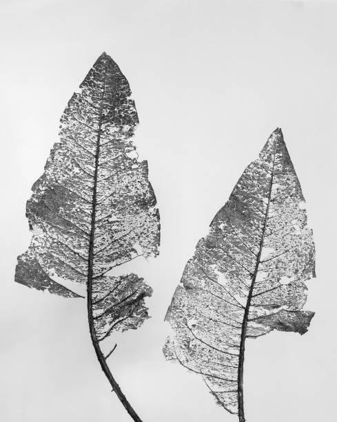 Skeleton leaves of Wyethia mollis on white background stock photo