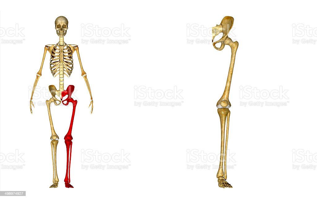 Skeleton Leg Stock Photo More Pictures Of Adult Istock