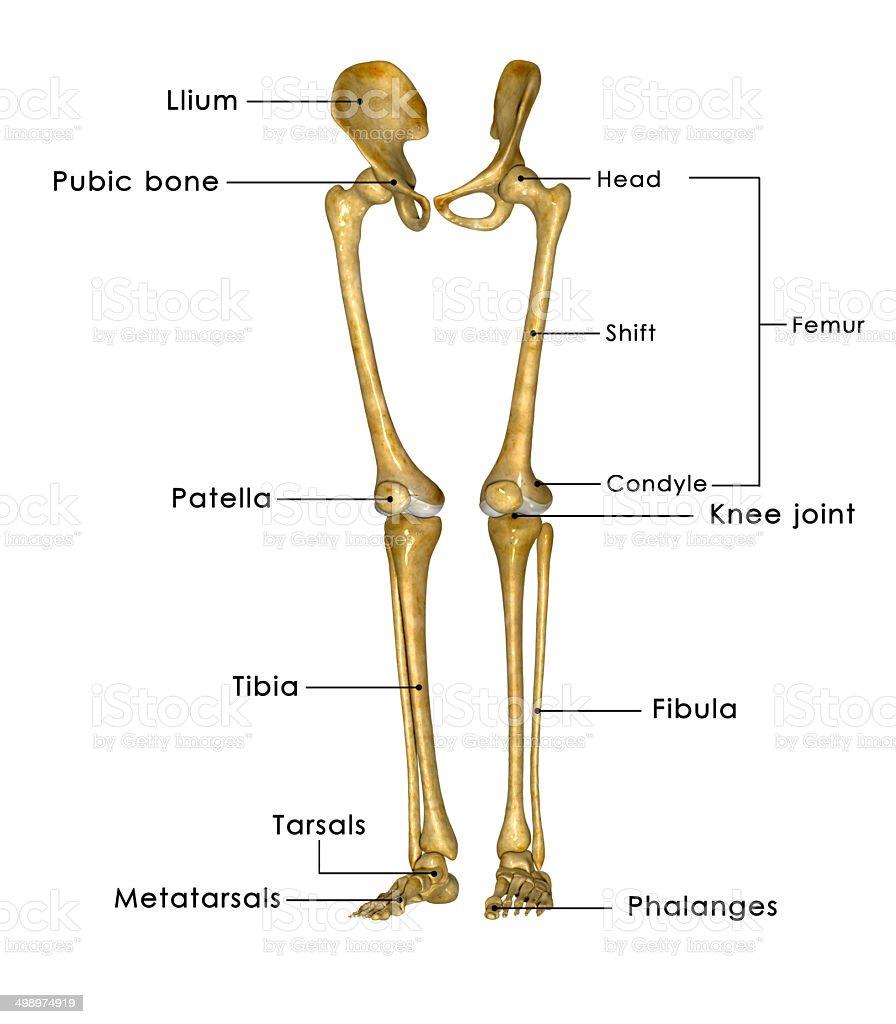 анатомия человека ноги в картинках
