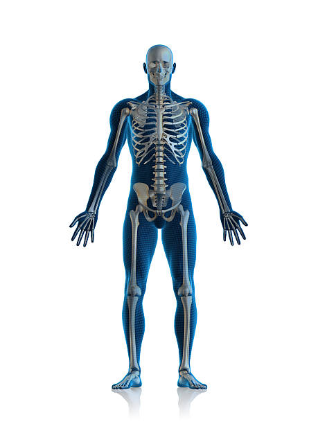 skeleton man - human body 3d stock photos and pictures