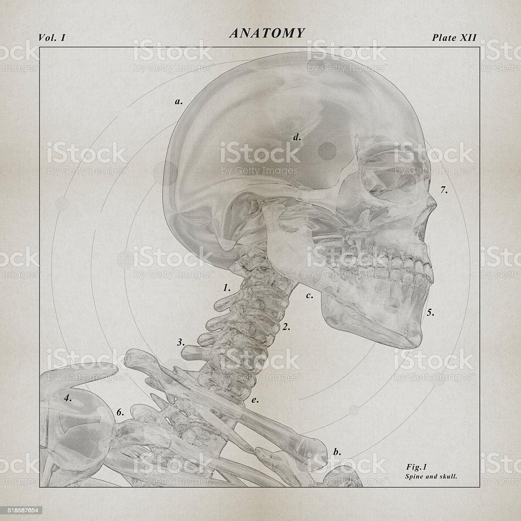 Skeleton medical illustration. 3D Illustration. stock photo