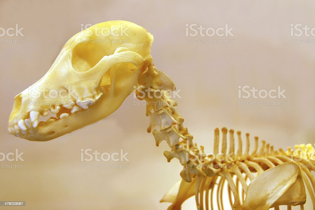 Skeleton of a Jack Russel royalty-free stock photo