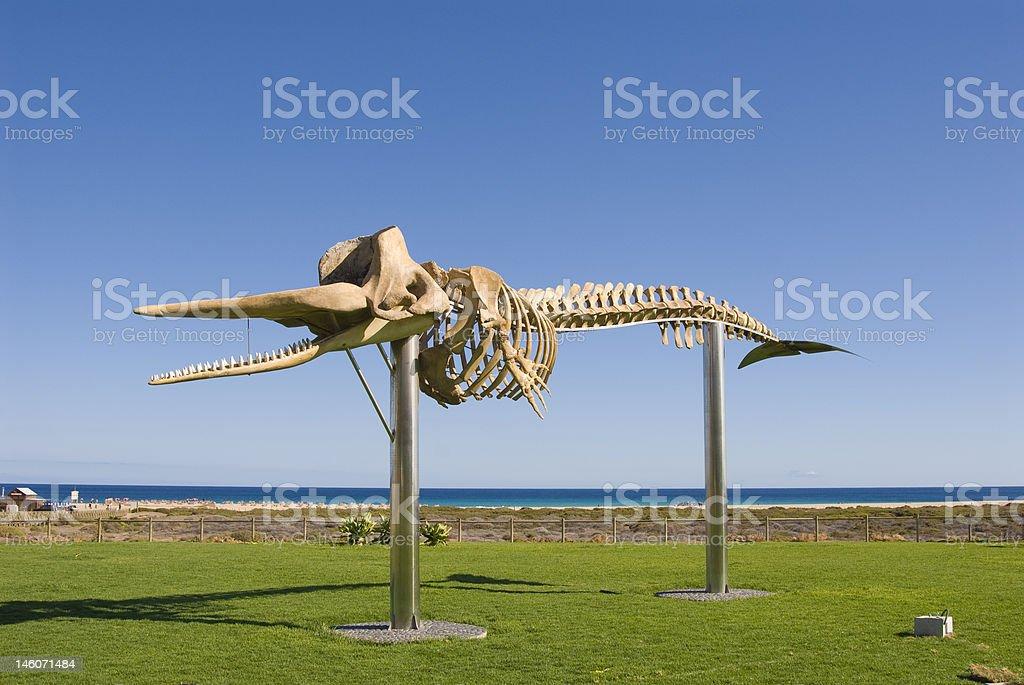 Skeleton of a Sperm Whale stock photo