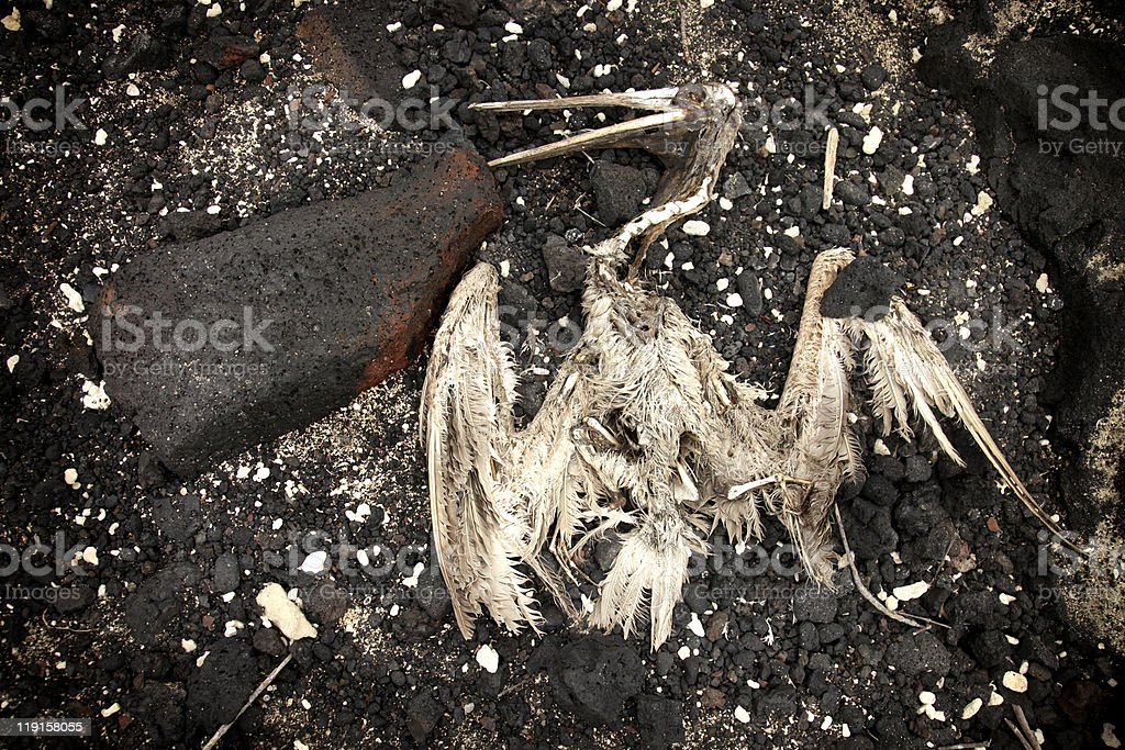 Skeleton of Brown Pelican on Lava rock royalty-free stock photo