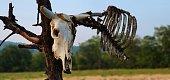 skeleton of bull