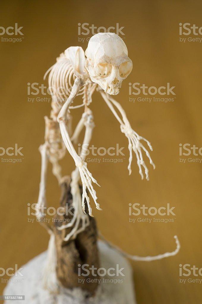 Skeleton of cotton-headed tamarin monkey royalty-free stock photo