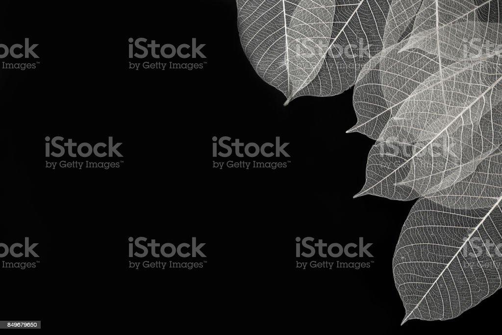 Skeleton of leaf on corner of black background stock photo