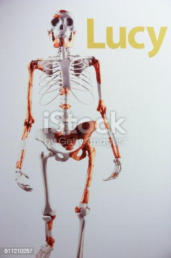 Skeleton of female australopithecus.