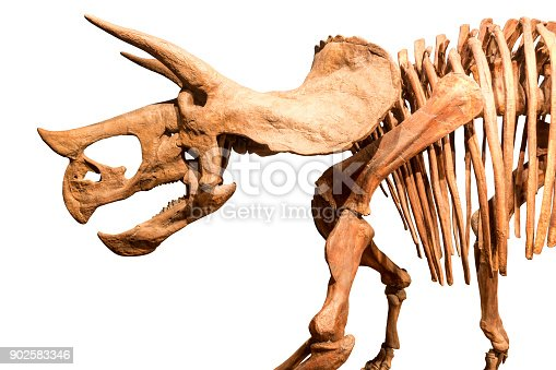 Skeleton of Triceratops . isolate background .