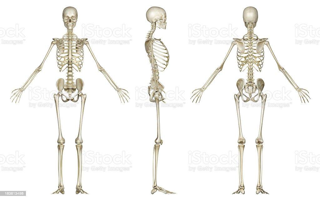 Esqueleto Humano - Stock Fotos e Imágenes - iStock