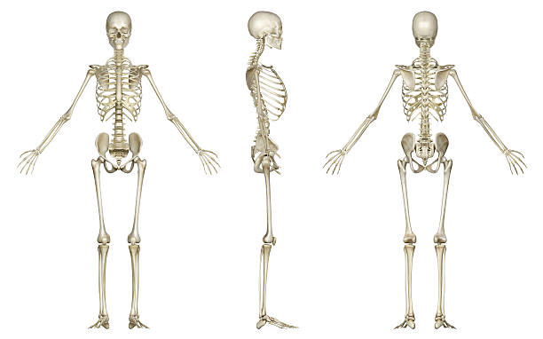 skeleton of woman, for study - human skeleton stock photos and pictures