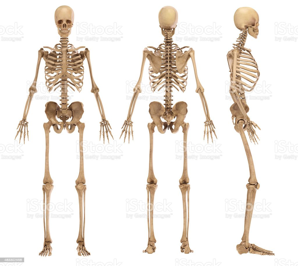 Royalty Free Human Skeleton Pictures Images And Stock Photos Istock
