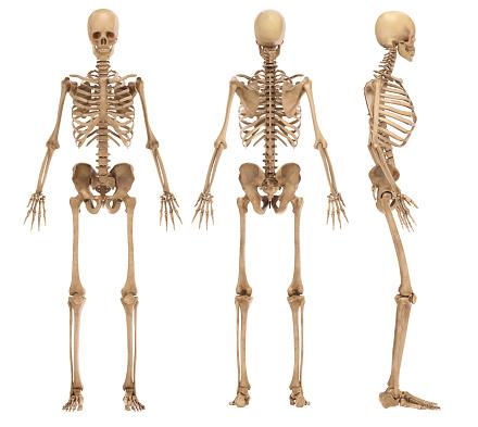skeleton isolated on white