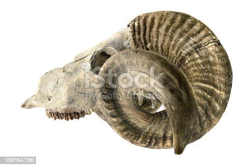 1151385192istockphoto skeleton. sheep skull with horns on white isolated background 1097847280