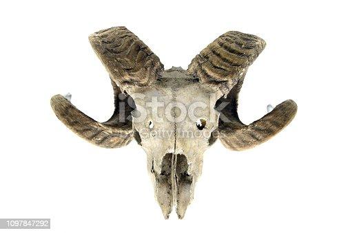 1151385192istockphoto skeleton. sheep skull with horns on white isolated background 1097847292