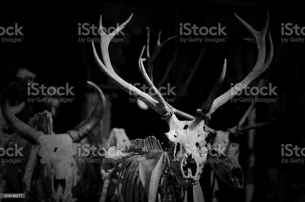 skeleton stag stock photo