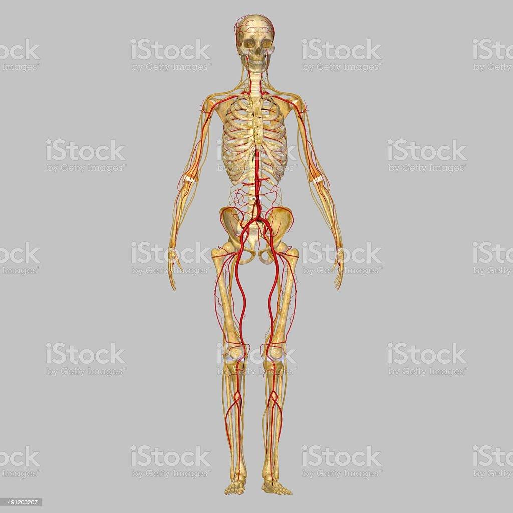 Skeleton with arteries stock photo