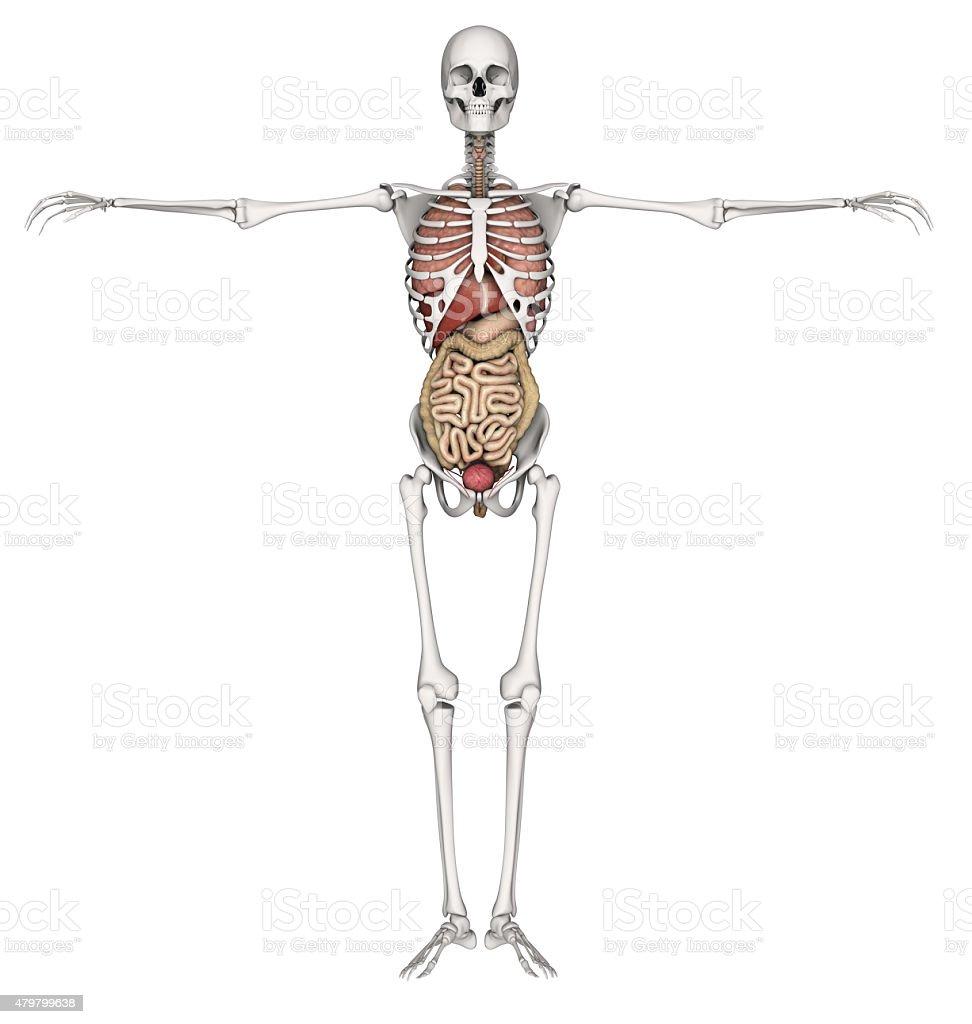 3 D Skelett Mit Inneren Organen Stock-Fotografie und mehr Bilder von ...