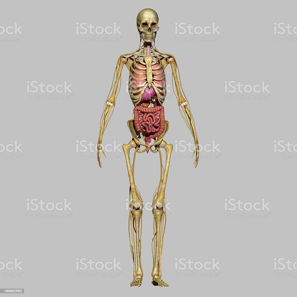 Ungewöhnlich Skelettsystem Organ Galerie - Menschliche Anatomie ...