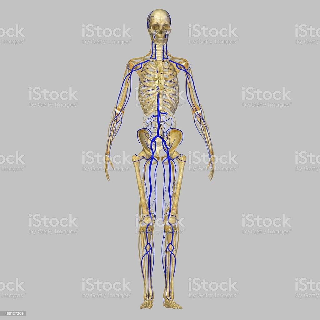 Esqueleto Con Venas - Fotografía de stock y más imágenes de Agresión ...