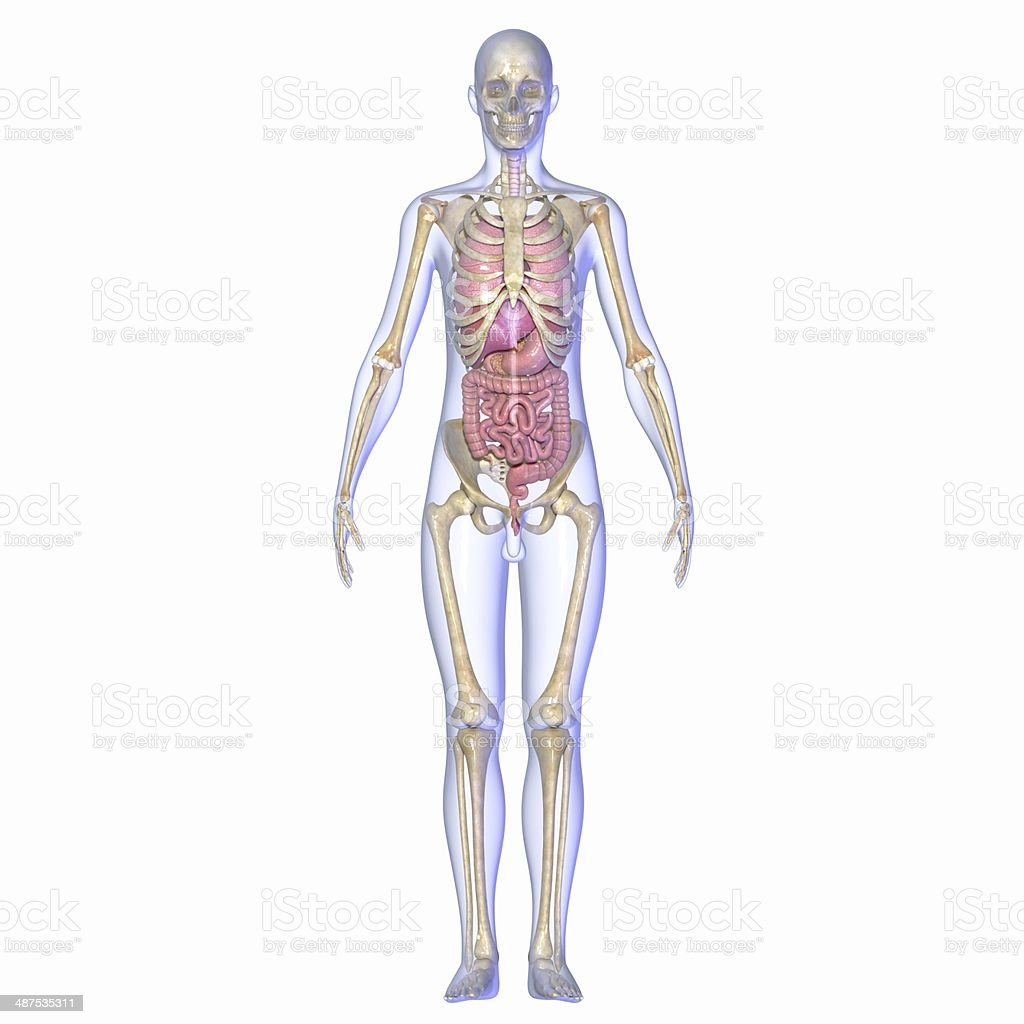 Skeleton wtih organs stock photo