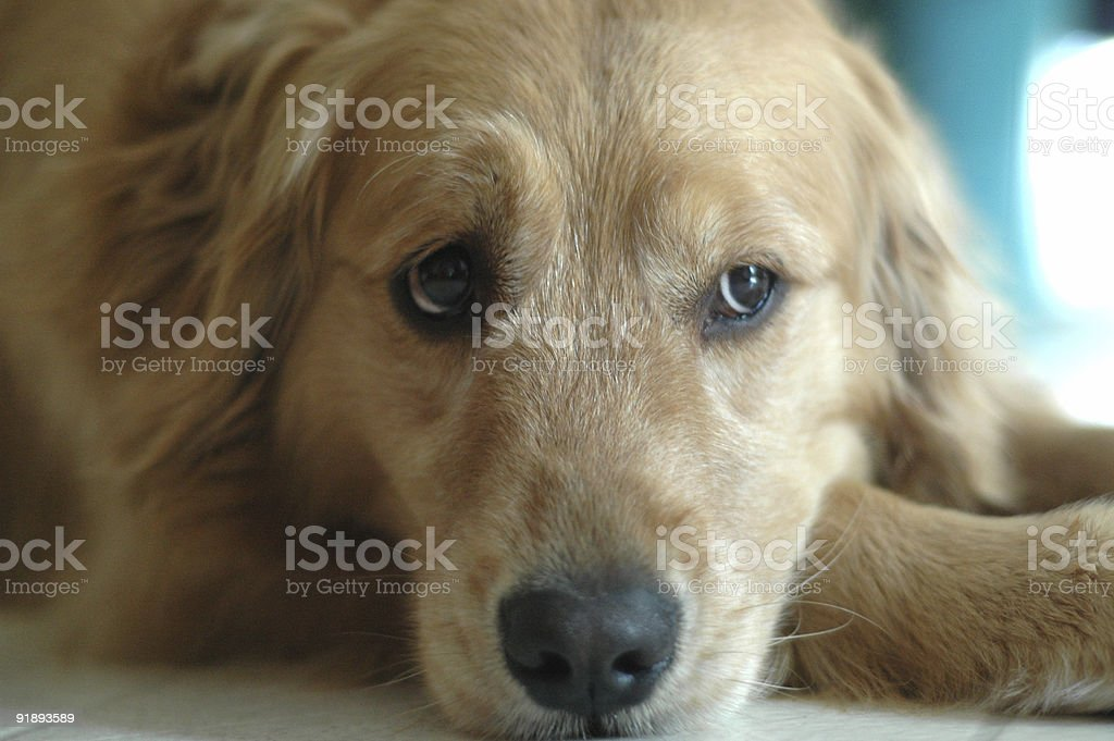 Skeptical Golden royalty-free stock photo